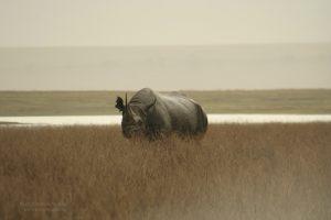 Black Rhino, Ngorongoro, Tanzania