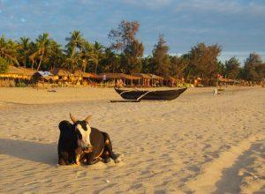 A bull enjoying sunset at Agonda Beach