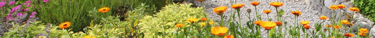 Calendula flowers at the Burren Perfumery