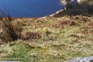 Daffodil above Lough Tay, Ireland