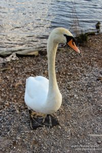 Friendly swan, Attenborough Nature Reserve, UK